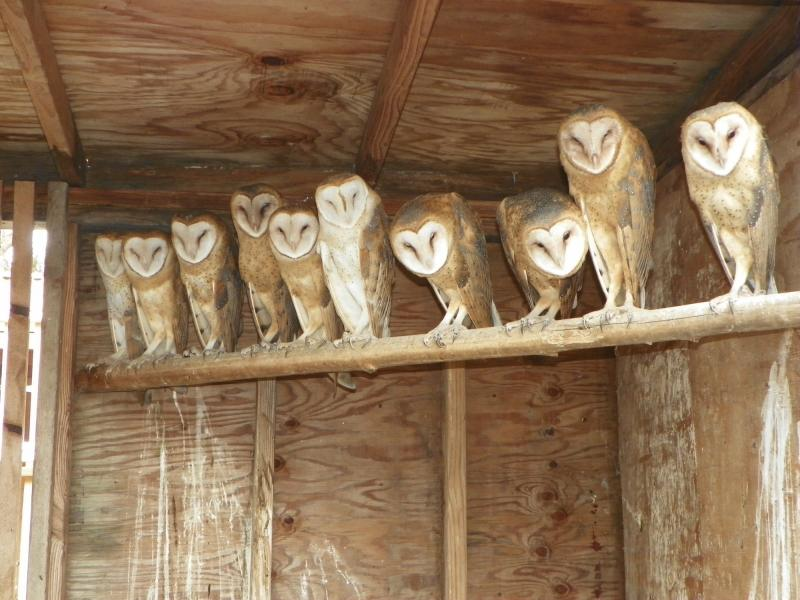 The released barn owls photographed at the Northwest Raptor and Wildlife Center in Sequim.