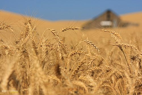 Wheat on the Palouse.