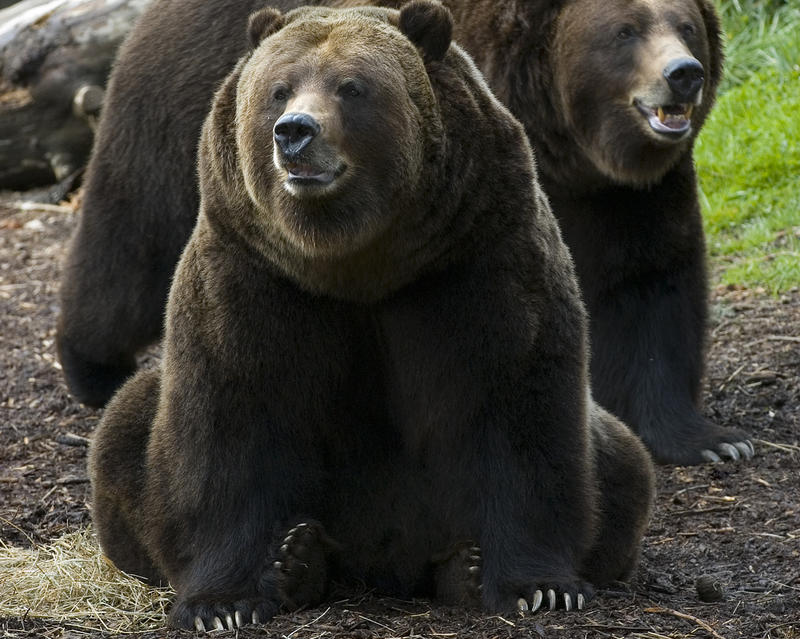 Woodland Park Zoo's two grizzly bears are brothers named Keema and Denali and are 17 years old (2011).