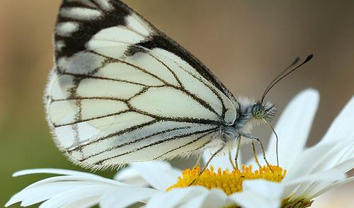 Pine white butterflies are finding new homes among the newly planted trees in the Tri-Cities.