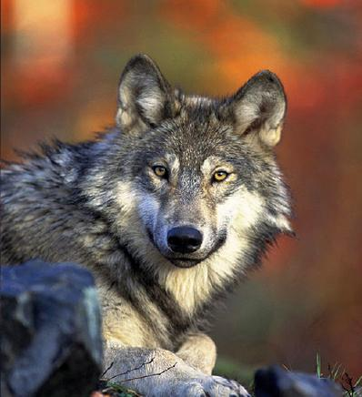 Groups sue to put wolves back on the Endangered Species list.