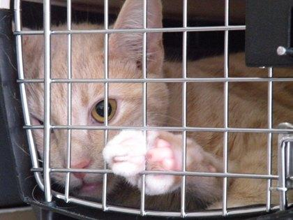 A trapped feral cat waits for his medical procedure at the feral cat spay/neuter clinic in Lynnwood.
