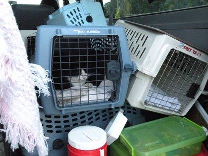 This tuxedo cat will travel 700 miles to get neutered.  He walked into a trap set by Jamie Pederson near a lumber yard in Hoquiam. He'll be returned after he gets fixed.