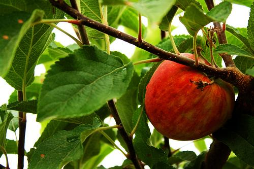 Apples going in want of pickers in Washington state.