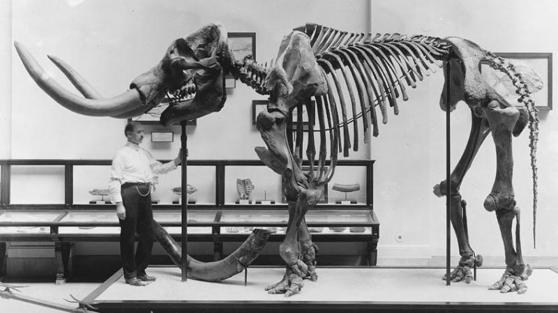 A museum employee stands beneath a mastodon skeleton on display at the U.S. National Museum, now the Smithsonian National Museum of Natural History, circa 1917.
