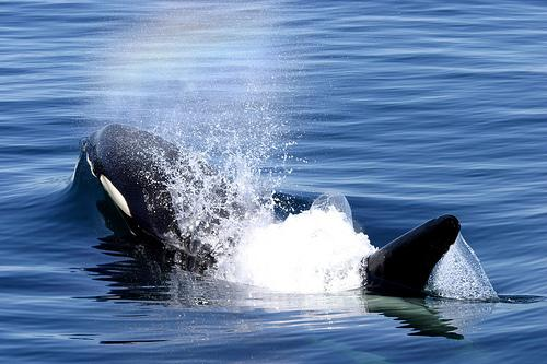 Orcas, like the one pictured, have been seen farther up the Nushagak River than ever before.