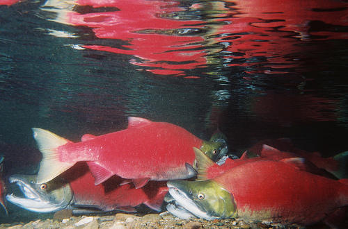 Adult Sockeye salmon in the lower section of Adams River, British Columbia. The U.S. Senate has approved an amendment that calls for a rapid federal response to the ISA virus found in B.C. Sockeye.