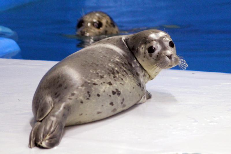 Harbor Seal pups, perhaps like this one born in June at the research institution in Seward, Alaska, are crowding the beaches in West Seattle.