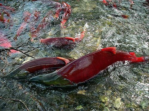 Sockeye salmon populations are facing a new challenge.