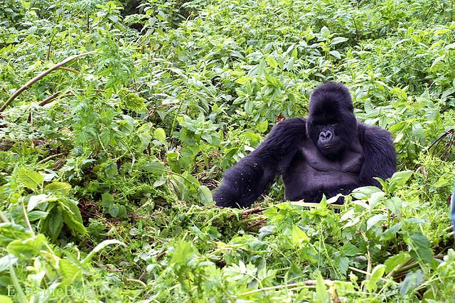 Gorillas in the mist. Mass genocide. The movie 'Hotel Rwanda' and maybe coffee. Tom Paulson is in Rwanda to explore these issues and more.