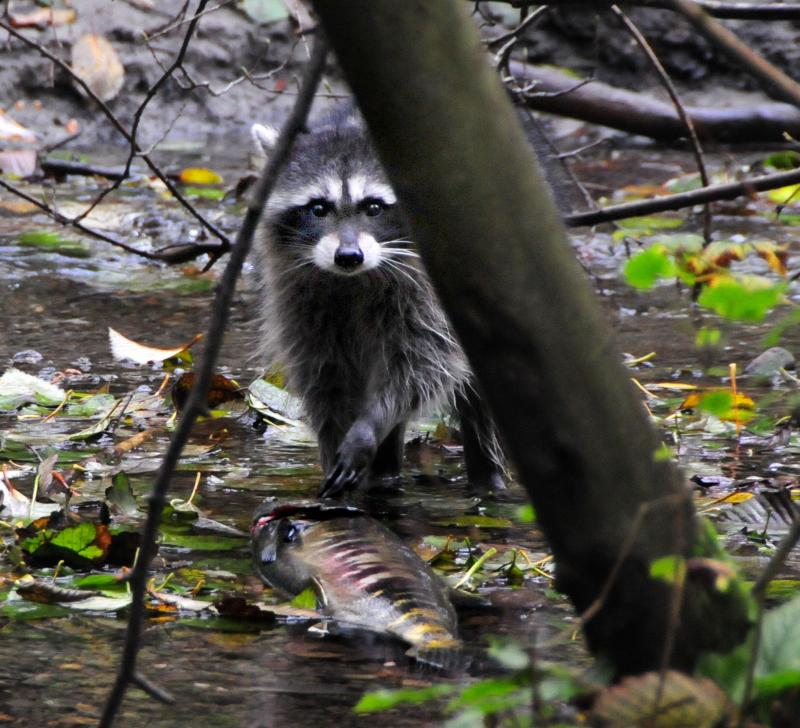 A raccoon takes advantage of the access to salmon at Piper's Creek in Seattle.
