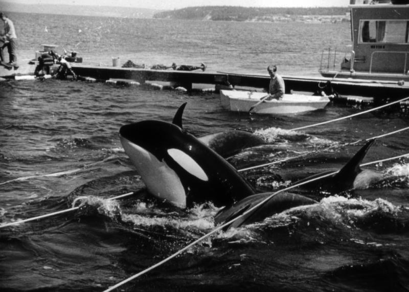 In this 1970 photo by Wallie Funk, orca whales are held captive near  Whidbey Island. Seven of the dozens of whales captured, including Lolita, who has been performing stunts for Miami Seaquarium for the past four decades, were sold to marine parks.