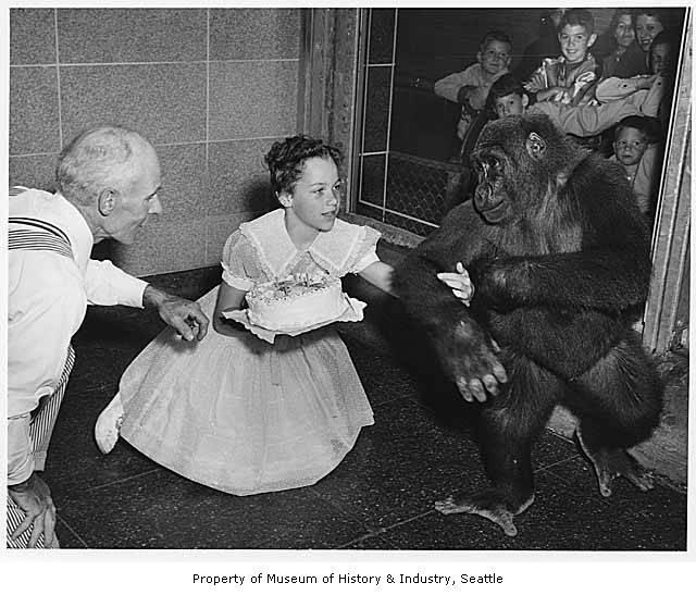 Bobo celebrating his fourth birthday in 1955 at the Woodland Park Zoo.