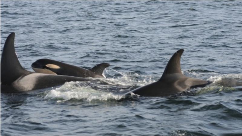 New killer whale calf born to Jpod in December 2011.
