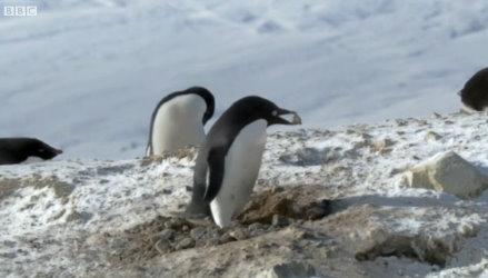 "In one video, a ""criminal"" penguin takes stones from its neighbour's nest ... as can be seen in this screen grab."