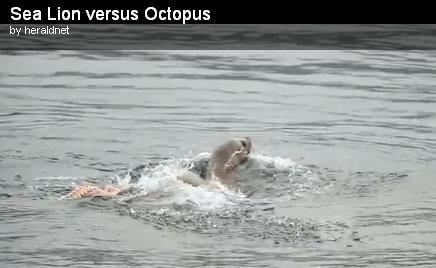 In this screen grab from the Everett Herald's YouTube video, you can see the sea lion surfacing after taking off a chunk of octopus. Click inside to see the video.
