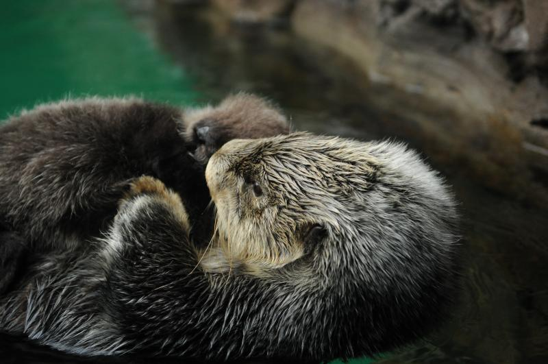 The young otter and its mother, Aniak.
