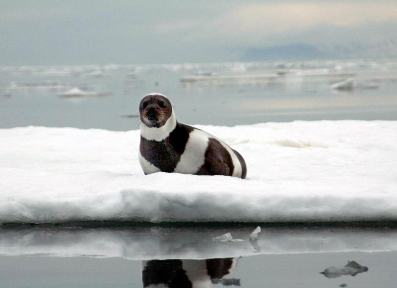 In this photo provided by the National Oceanic and Atmospheric Administration, Fisheries, an adult, male ribbon seal sits on an ice flow in Russian's Ozernoy Gulf in the summer of 2005, just prior to capture.