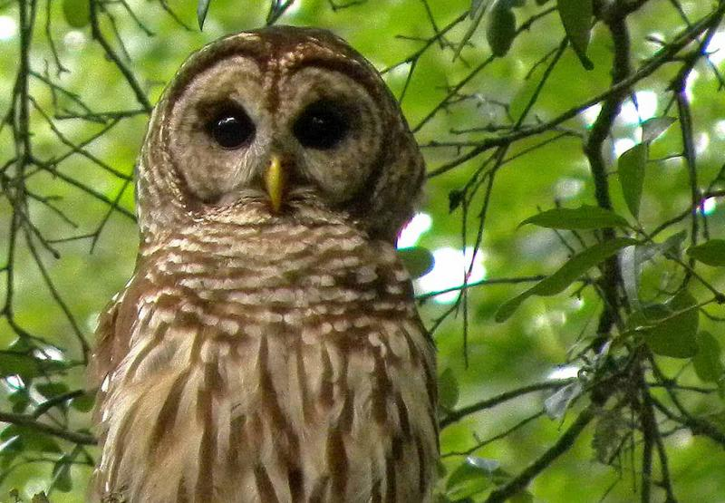The highly adaptable barred owl has moved in from points east and pushed out the endangered northern spotted owl. Lethal and non-lethal removals are part of the new spotted owl recovery plan announced by the US Fish and Wildlife Service.