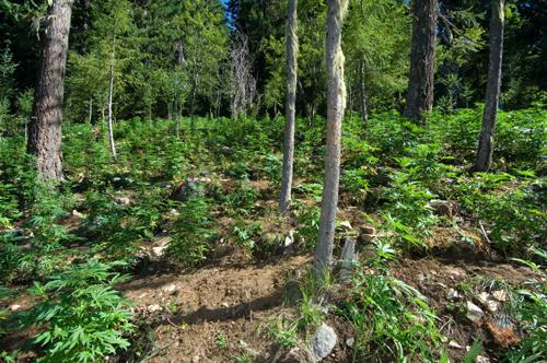This marijuana grow site was discovered in Ross Lake National Recreation Area, in North Cascades National Park, in 2008. Many more have been found in the Northwest's national forests, including Oregon's biggest ever last summer, in Wallowa County.
