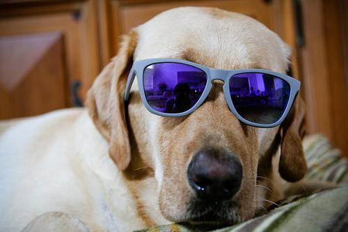 The Labrador Retriever is Seattle's top dog.