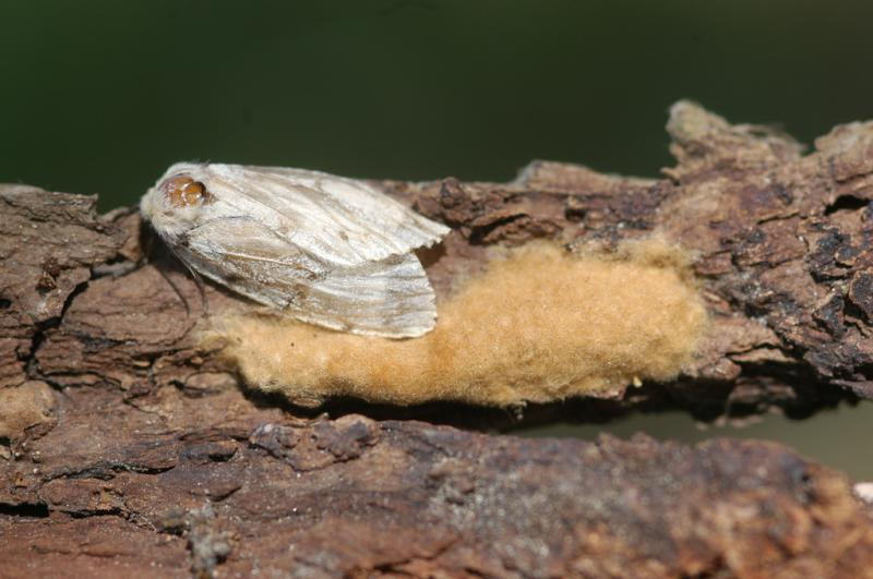A female gypsy moth deposits an egg cluster on a tree branch.