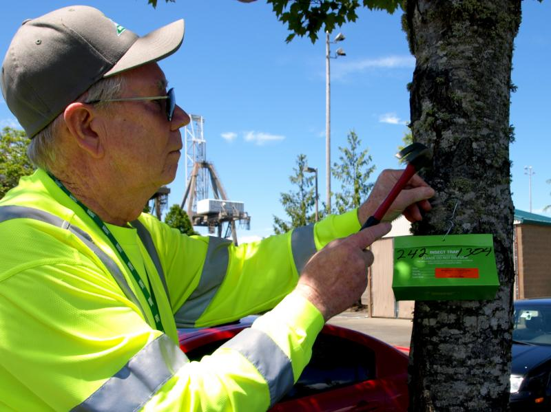 Washington State Department of Agriculture employee Bill Weatherspoon installs a gypsy moth trap in 2011.