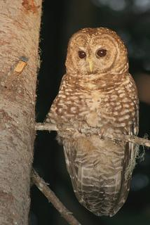 A northern spotted owl in Packwood, WA on July 9, 2010.