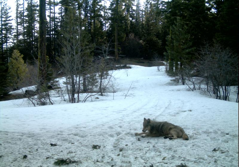 Gray wolf shown in a photo taken from a remote camera in 2011 near Teanaway Pack of Kittitas County.