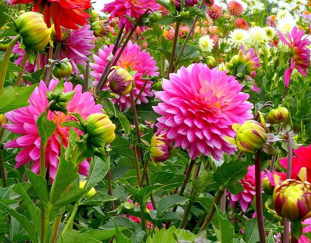 Late summer brings the delight of blooming Dahlias in the northwest...but they'll be gone in just a few weeks. Are you counting the days till school starts? Or dreading the lack of light in winter?