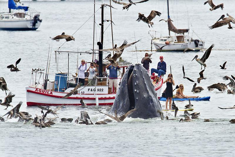A humpback whale lunges out of the water to feed on krill near a gathering of spectators just off a beach at San Luis Obispo, Calif., on Saturday.