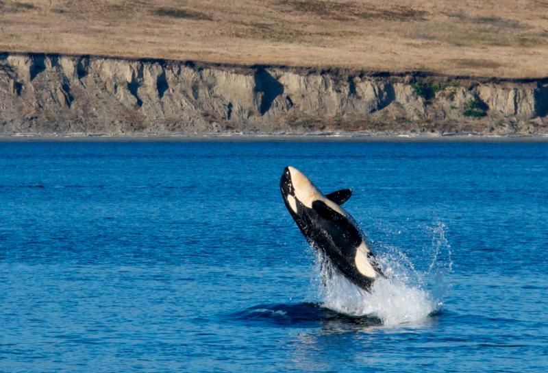 First photo in a series catching a killer whale breaching near South Beach in Puget Sound on Monday.