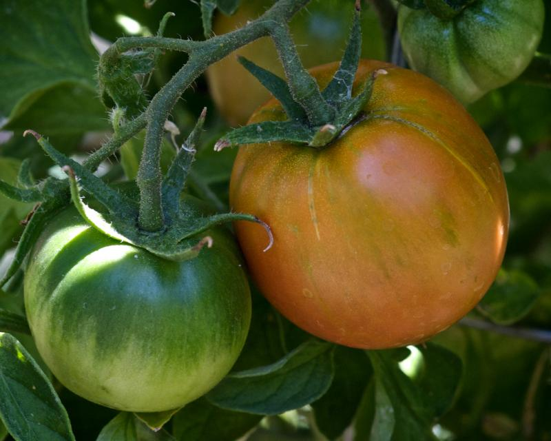 With heat on the way, your tomatoes just might ripen this year