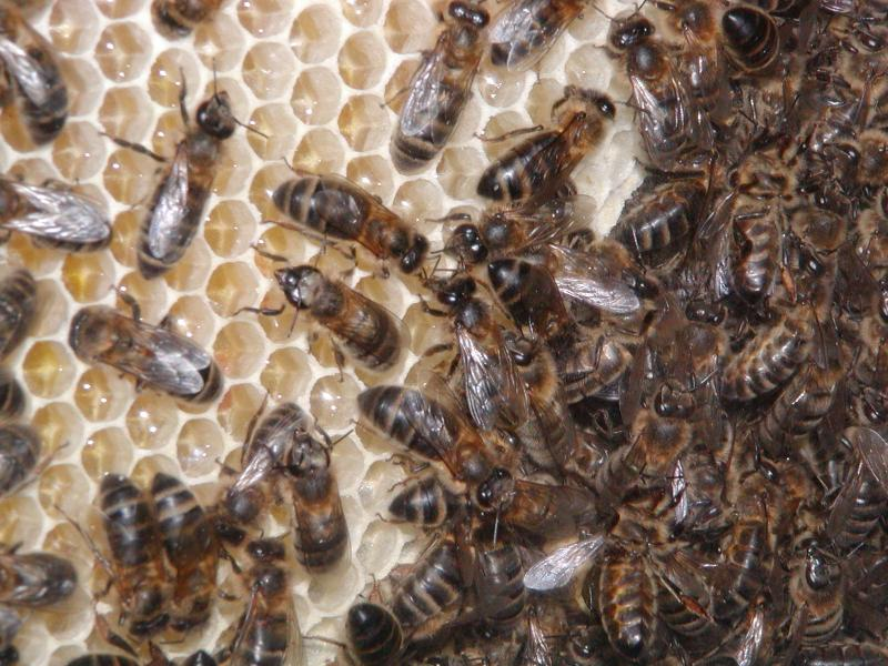 Bee populations already have been dropping in recent years due to another ailment called Colony Collapse Disorder, in which all the adult honey bees in a colony suddenly die.