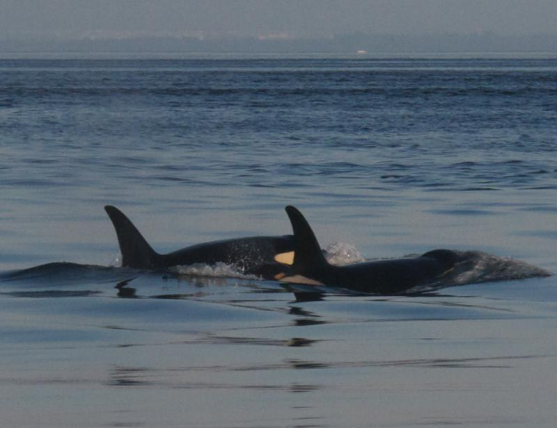 A baby orca, sex unknown, was seen swimming between its mother and grandmother in Puget Sound in August.