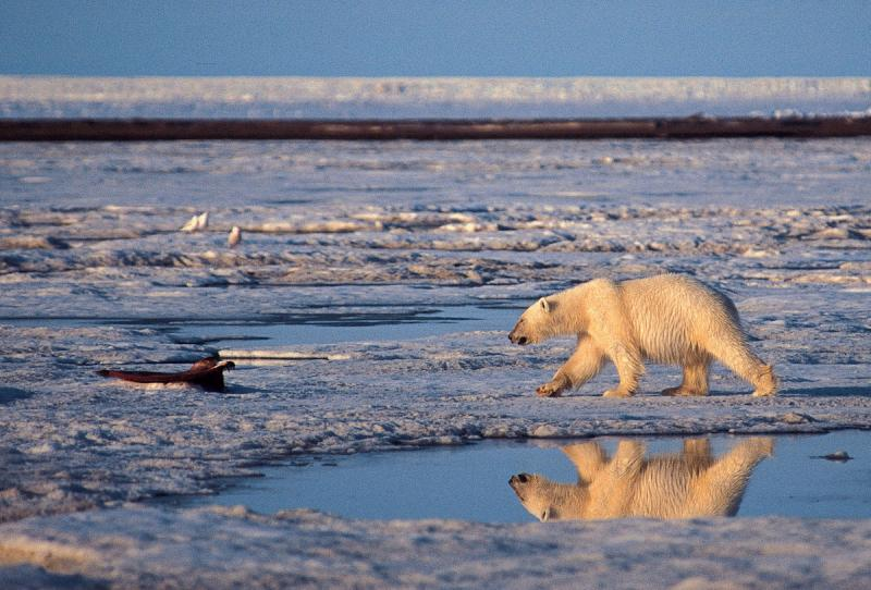 This undated file photo shows a polar bear in the Arctic National Wildlife Refuge in Alaska.