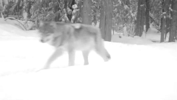 Screen grab from a Washington Department of Fish and Wildlife video of a wolf in the Wedge portion of the Colville National Forest, west of the Columbia River, a few miles from the Canadian border.