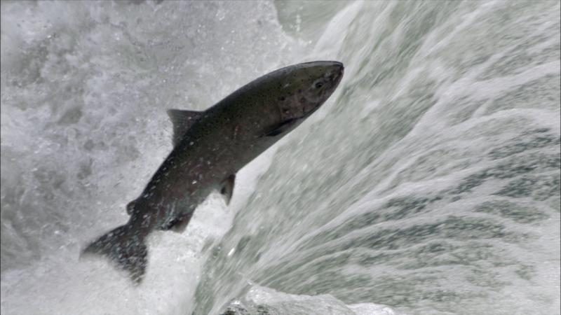 A Chinook salmon at Dagger Falls, Idaho.
