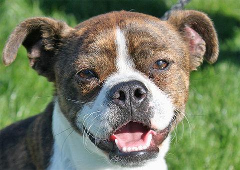 Quincey, a Boston terrier and Boxer mix at Must Love Dogs ready for adoption.