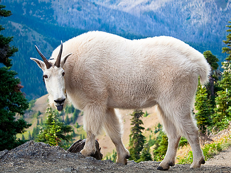 Mountain goat in Olympic National Park.