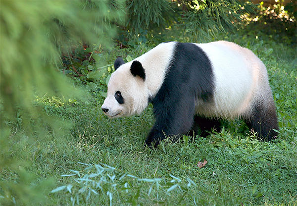 What keeps pandas and lions off our dining tables, when we readily consume, say, pigs and chickens?