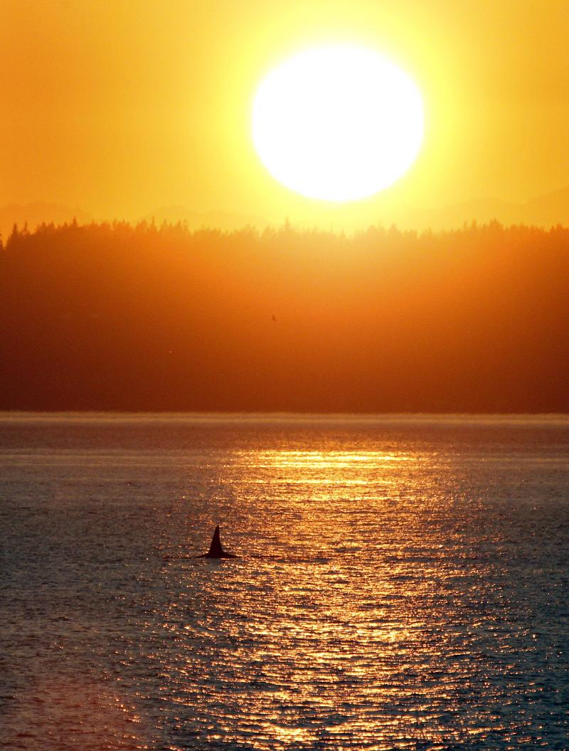 In this photo taken Monday, the dorsal fin of an orca whale is seen as the animal swims in Puget Sound in view of the setting sun as seen from Seattle's West Seattle neighborhood.