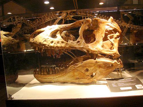 A Tyrannosaurus bataar skull like this one is estimated to be worth  between $250,000 and $400,000.