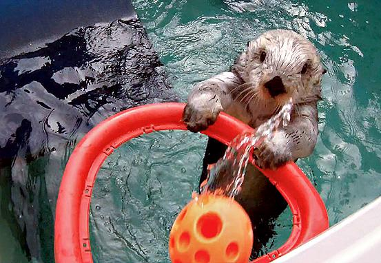 15-year-old Eddie the sea otter.
