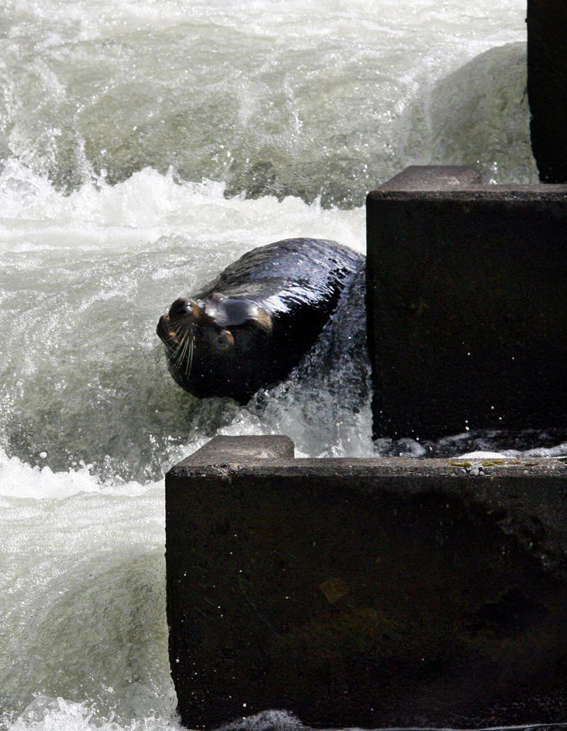 Sea lion C404 is seen in the fish ladder at Bonneville Dam, in a file photo taken March 21, 2006, in Cascade Locks, Ore.