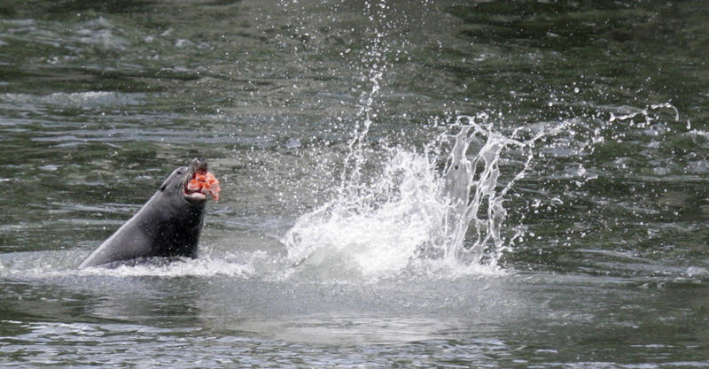 sea lion eats a salmon at Bonneville Dam near Cascade Locks, Ore., in this April 10, 2007 file photo.
