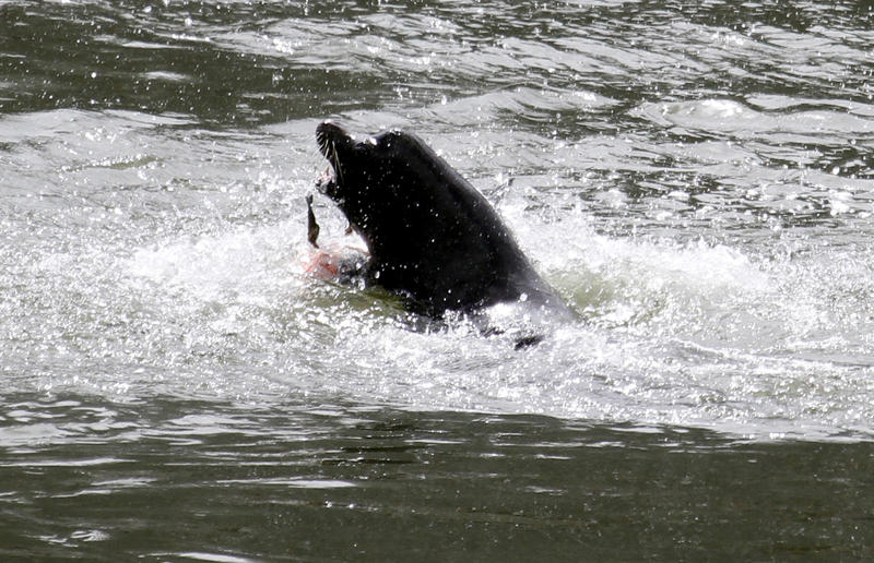 A sea lion eats a salmon in the Columbia River near Bonneville Dam in North Bonneville, Wash., Tuesday, May 4, 2010.