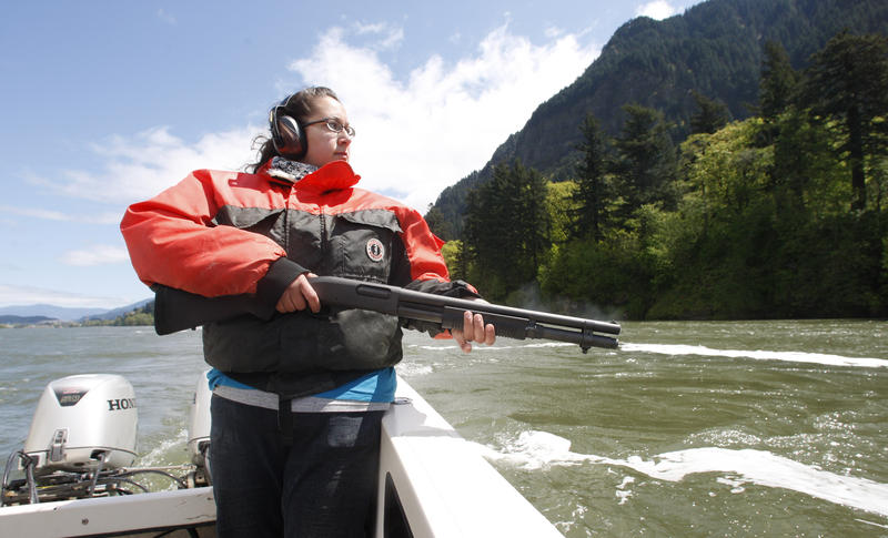Laurinda Hill, with the Columbia River Inter-Tribal Fish Commission carries her shotgun loaded with firecrackers as her boat patrols for sea lions on the Columbia River near the Bonnevile Dam Tuesday, May 10, 2011, near Stevenson Wash.