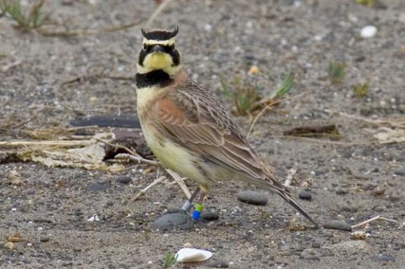 A streaked horned lark is seen in this photo.