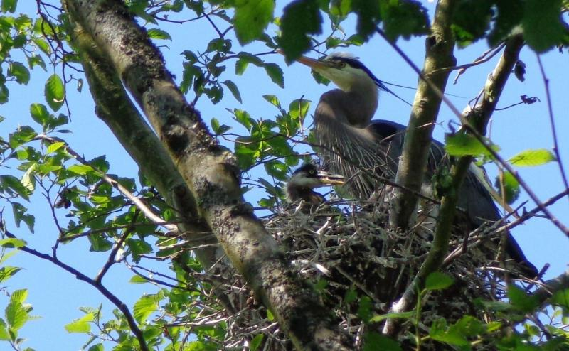A great blue heron is seen building a nest at Commodore Park.